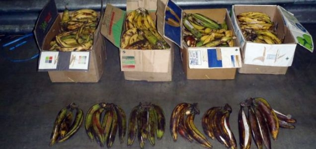 Cocaine was stuffed inside plantains, a sour, banana-like fruit, on a flight from Ghana (Photo: UK Border Force/PA)